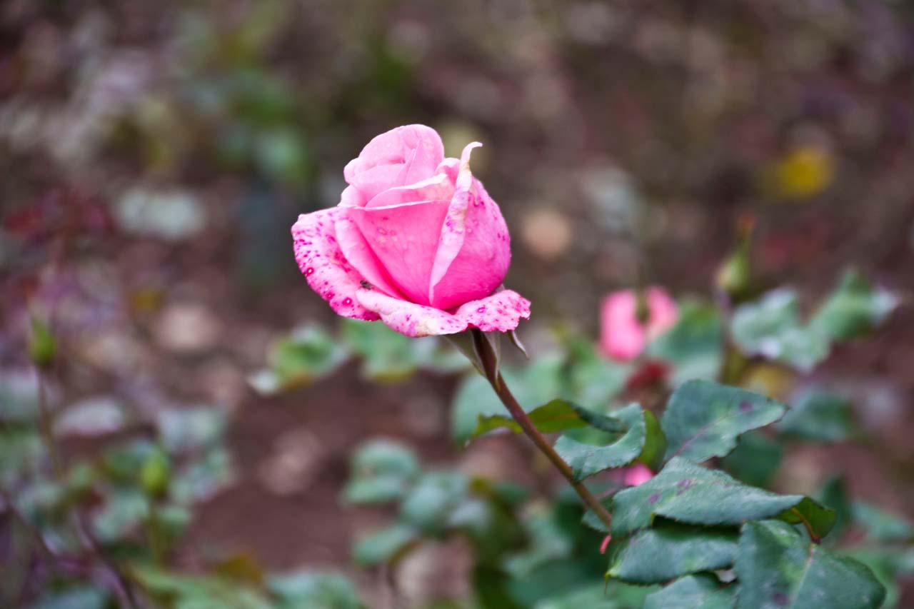 Pink rose in Rose garden Ooty