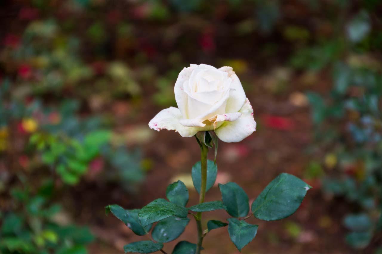 White rose in Rose garden Ooty