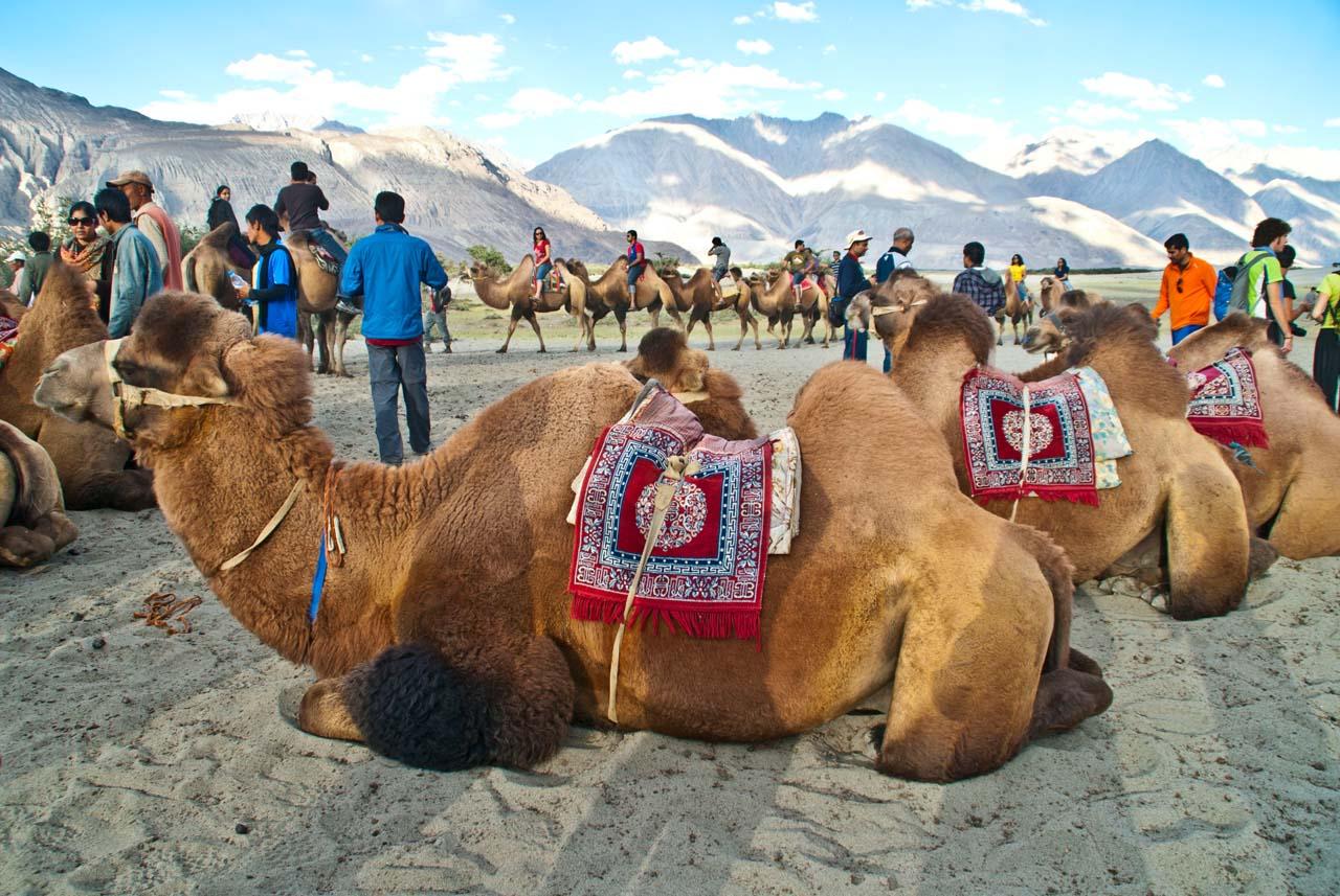 Leh to nubra valley via khardung la - Double hump Camel