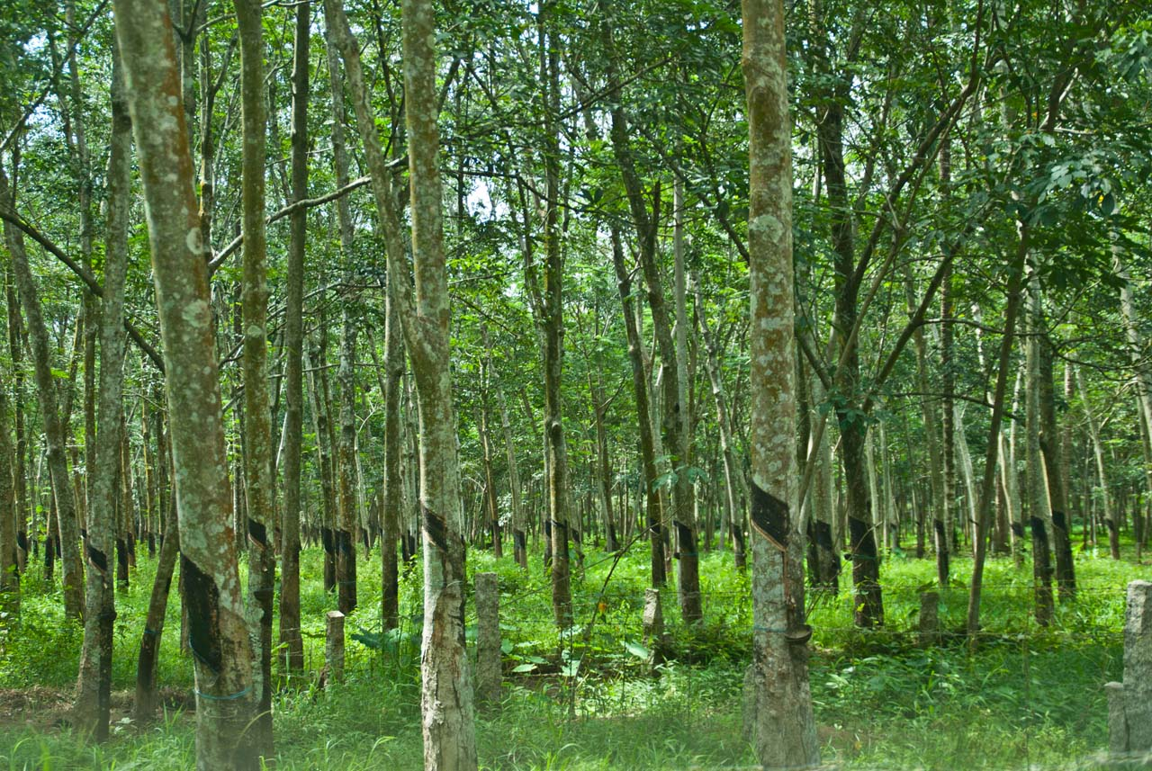 Rubber Plantation Kanyakumari