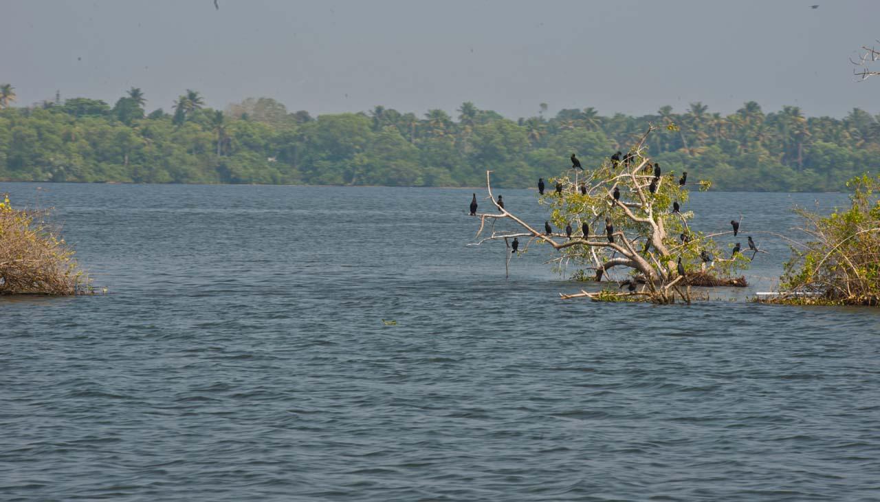 Birds in Kerala Backwaters from Alleppy to Kollam