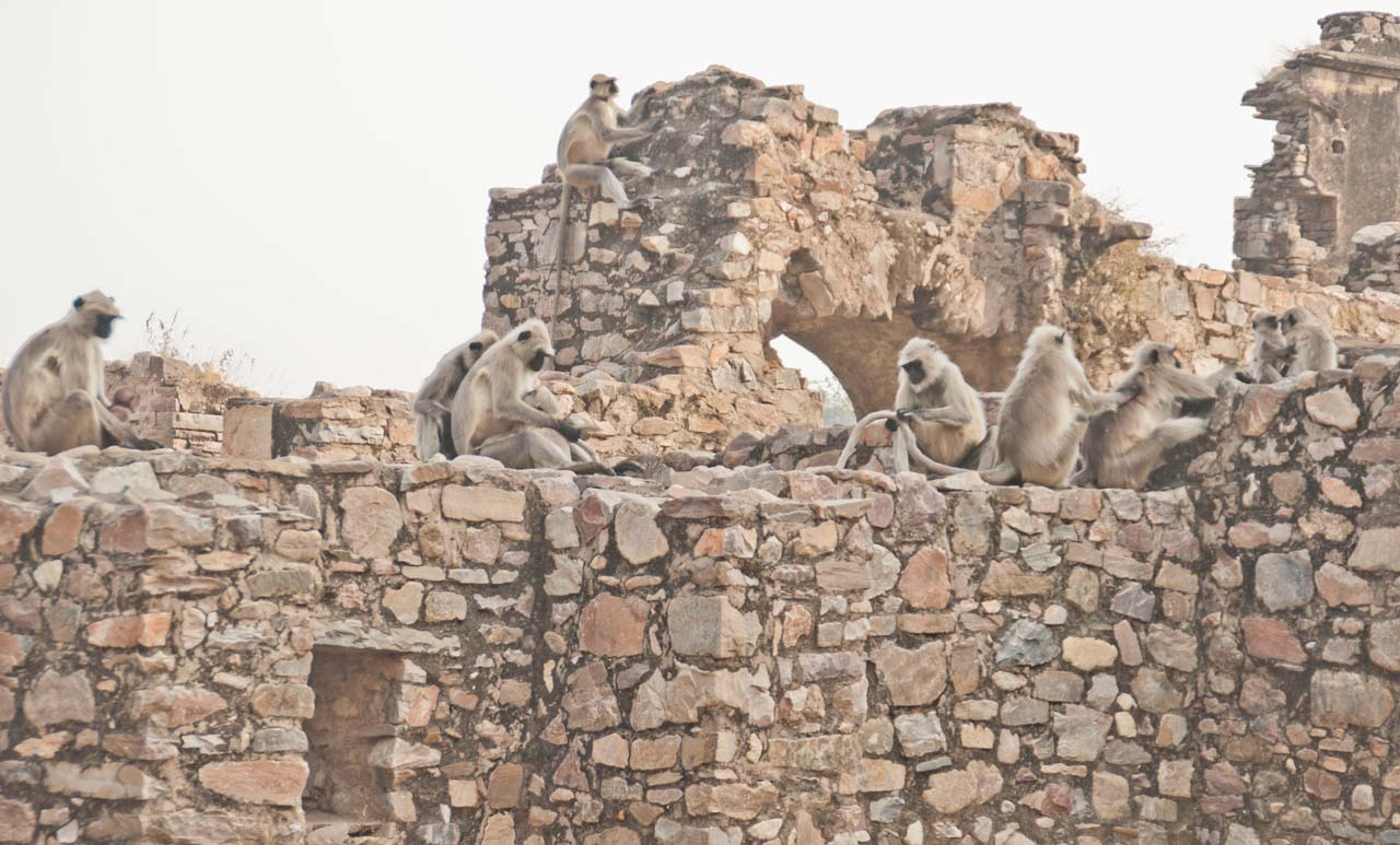 Group of Langurs in Bhangarh fort