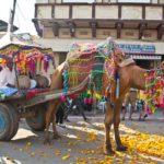 Pushkar camel fair camel cart