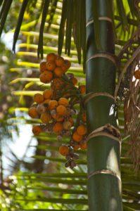 Betel Nut Fruit