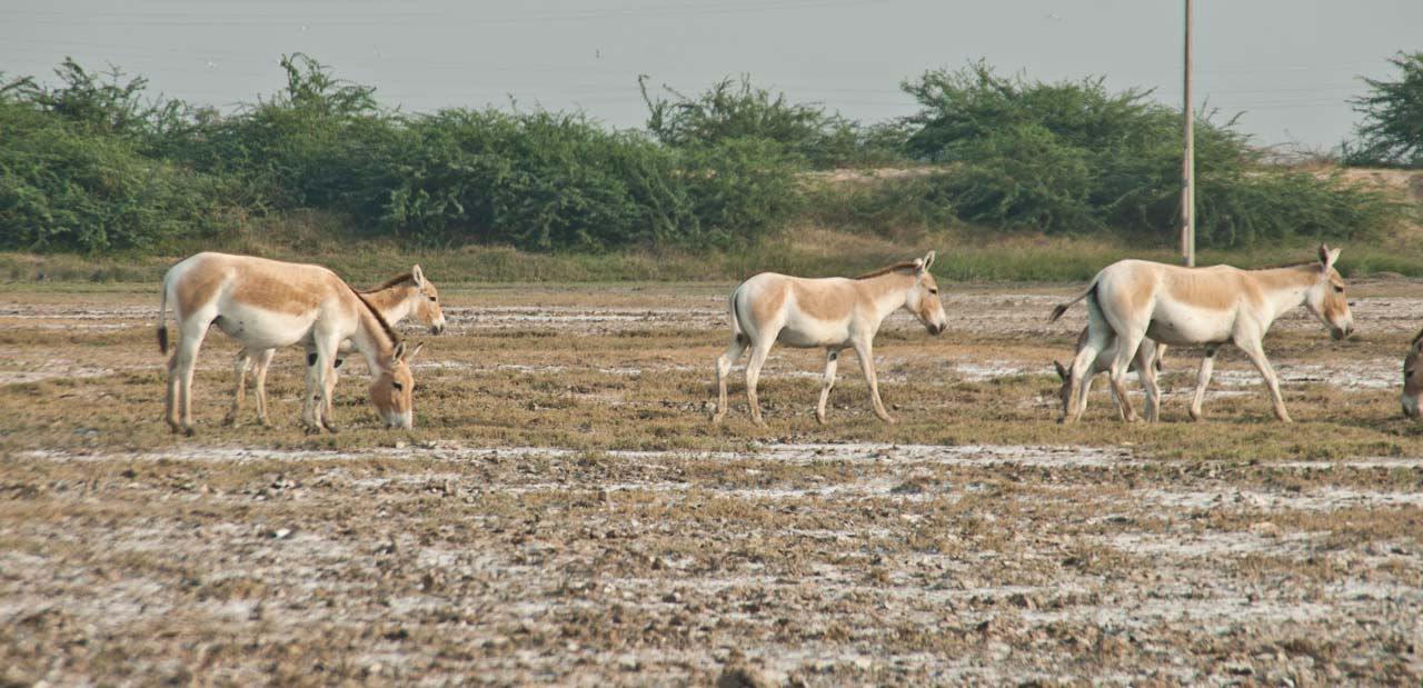 Wild ass in little rann of Kutch