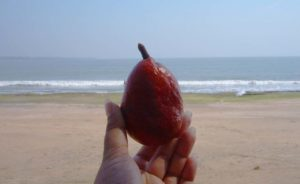 Hokka Tree fruit Diu
