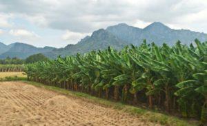 Banana plantation Kanyakumari