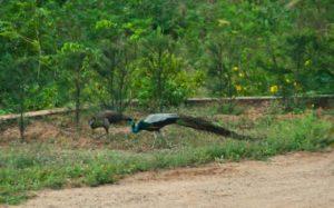 Peacock in Vivekananad ashram Kanyakumari