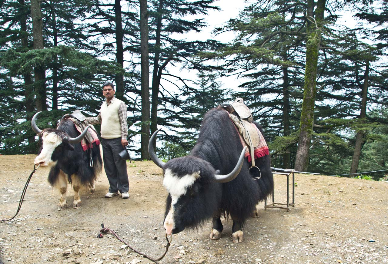 Pair of Black Yak on the way from Shimla to Kufri