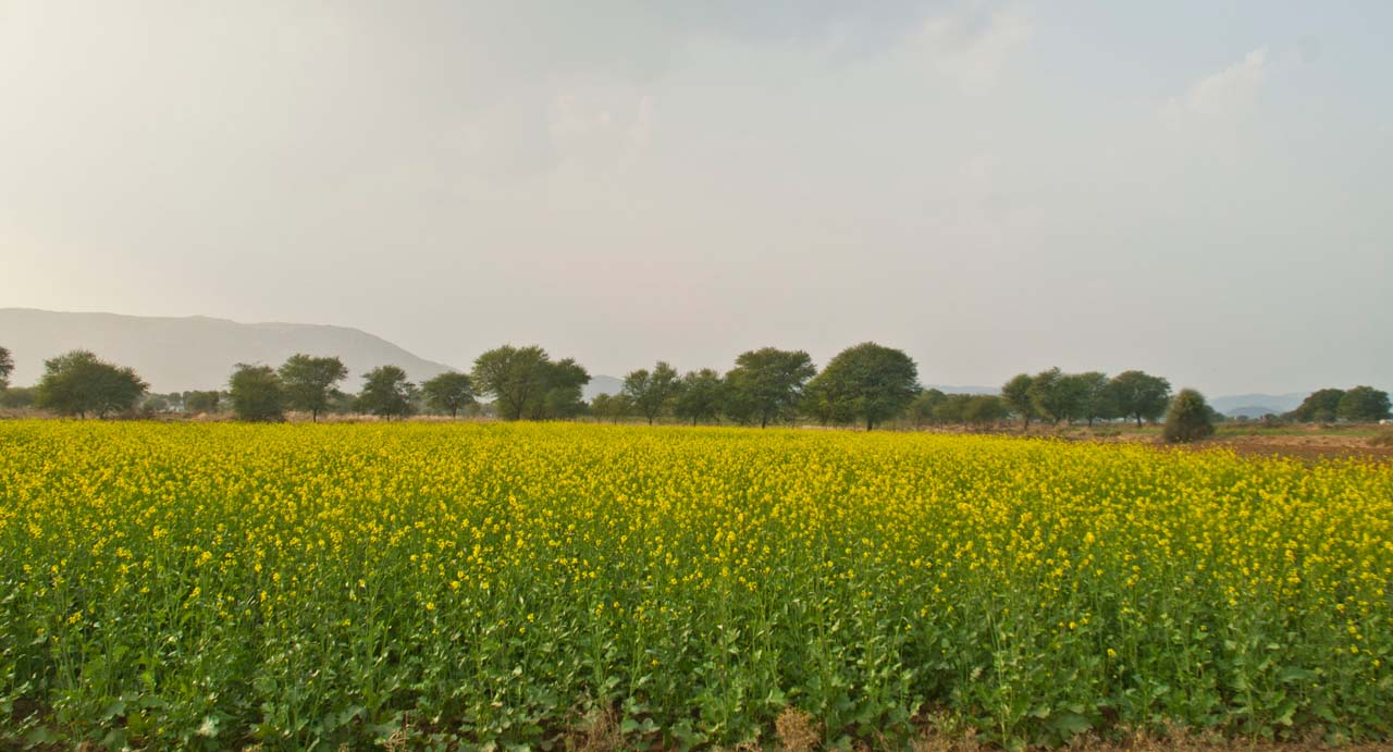 Mustard fields around Hill fort Kesroli