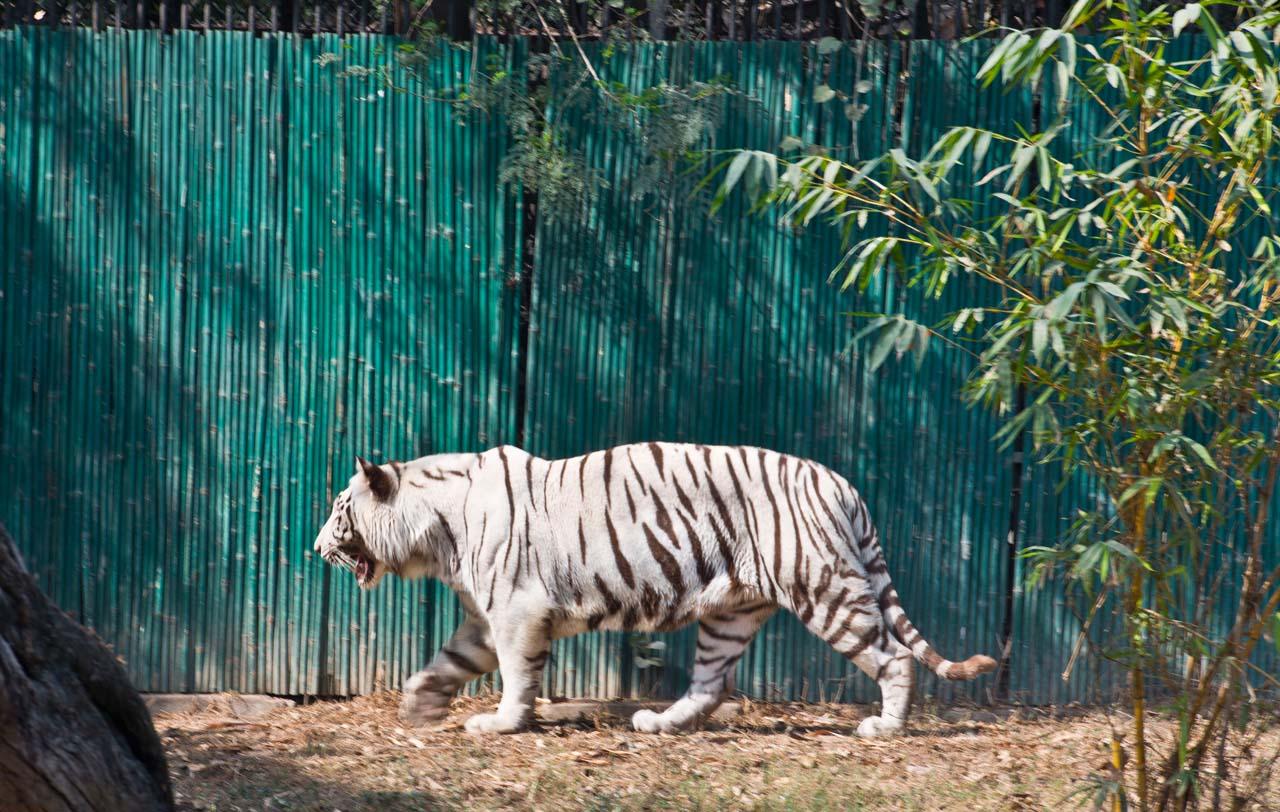 Delhi Zoo White Tiger