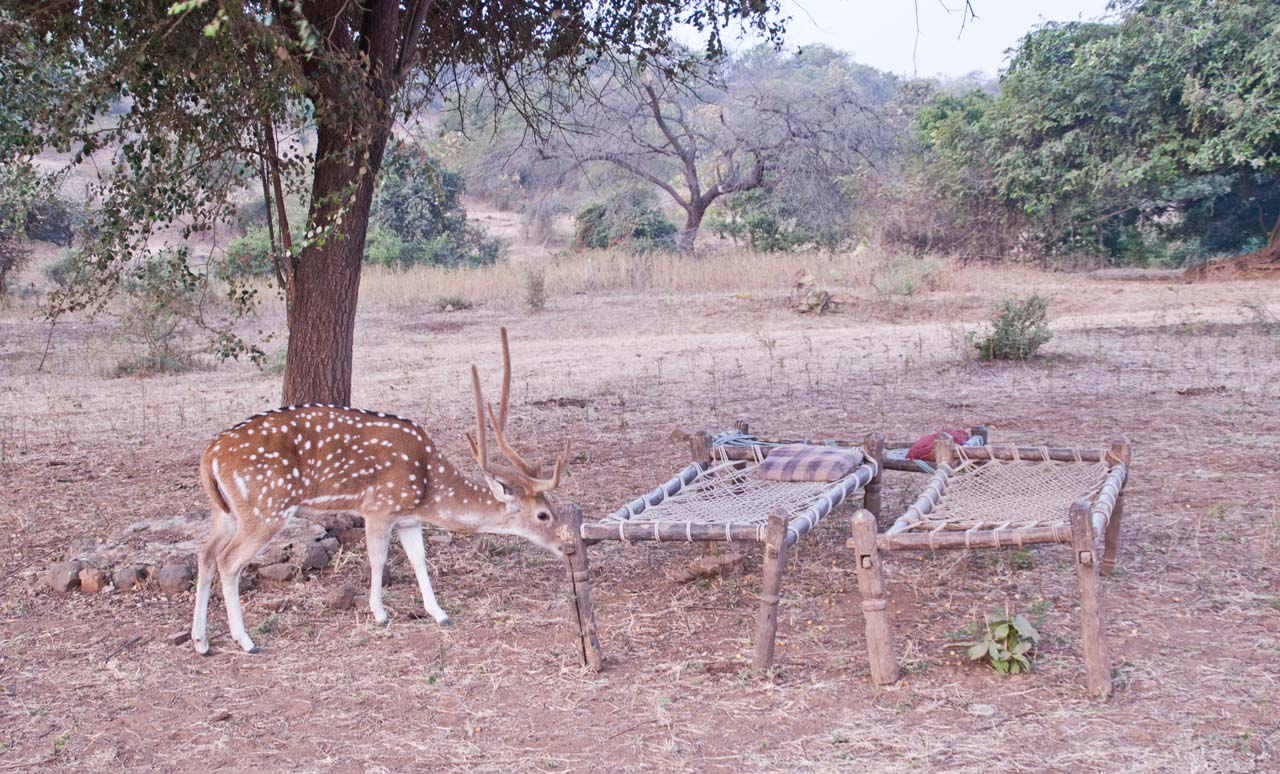 Charpoys and spotted Deer