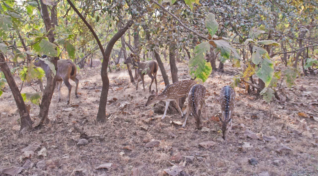 Deer and Sambhar