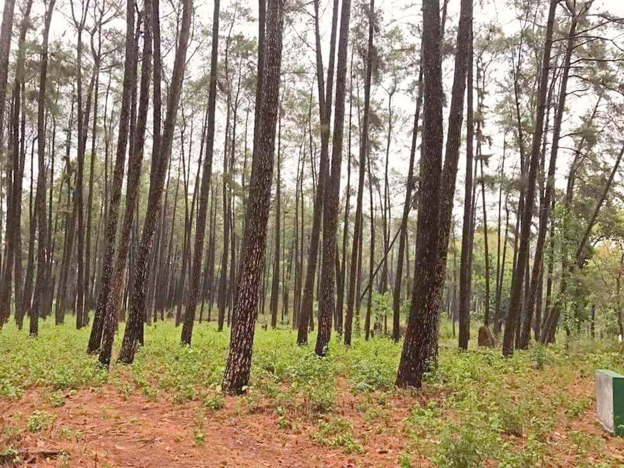 Dringbadi Pineforests