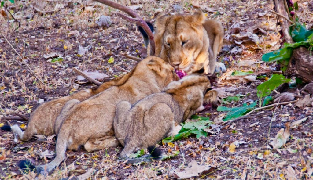 Lioness and Cubs Gir National Park Safari and other Information
