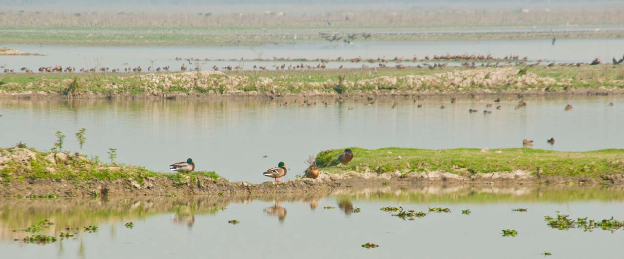 Birds in Pobitora wildlife sanctuary