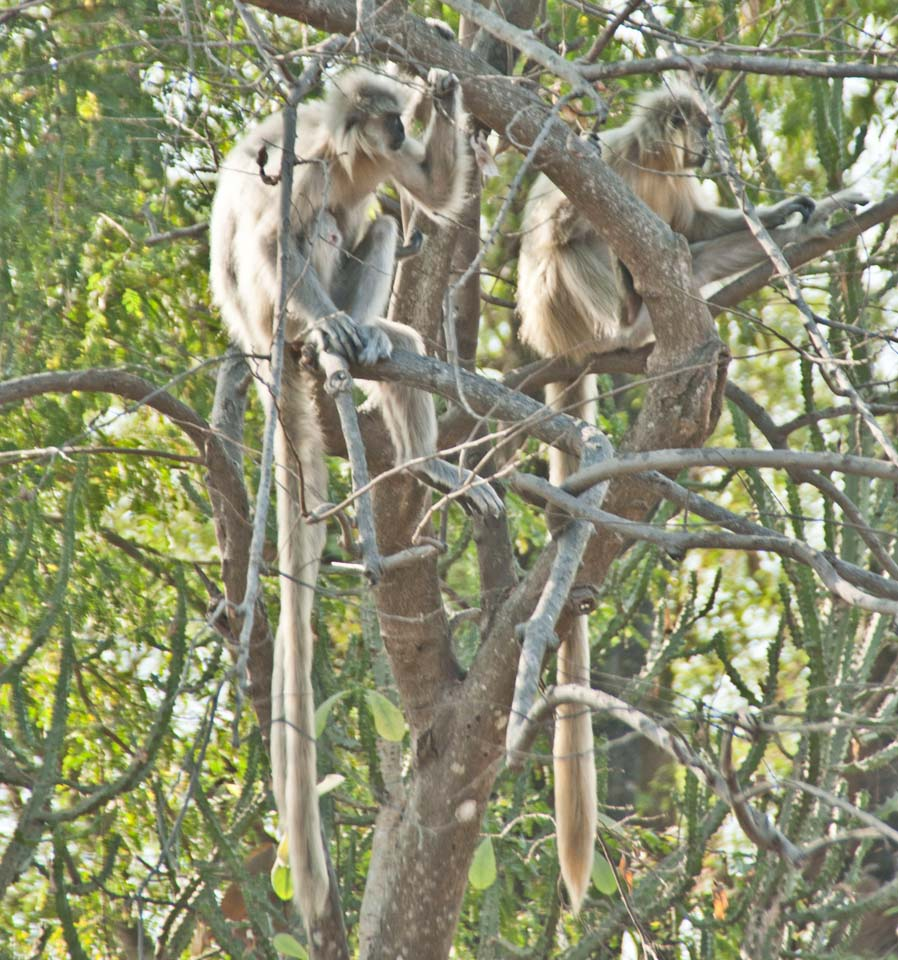 Langurs at Umananda Temple Guwahati