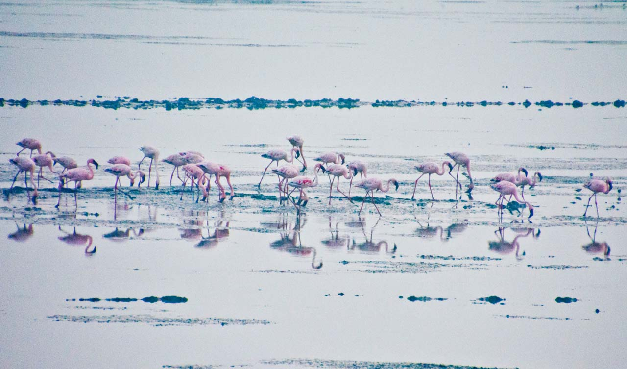 Flamingos in Sewai Mumbai