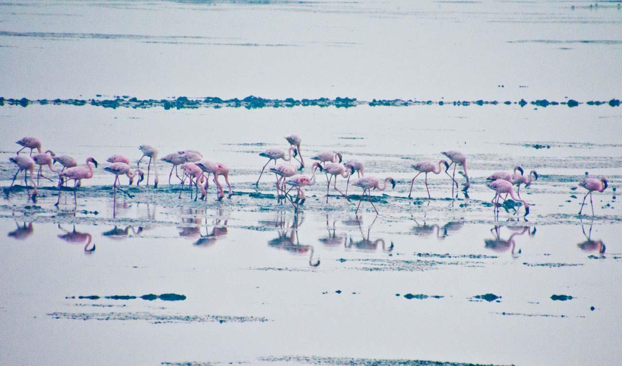 Flamingos in Sewai Mumbai