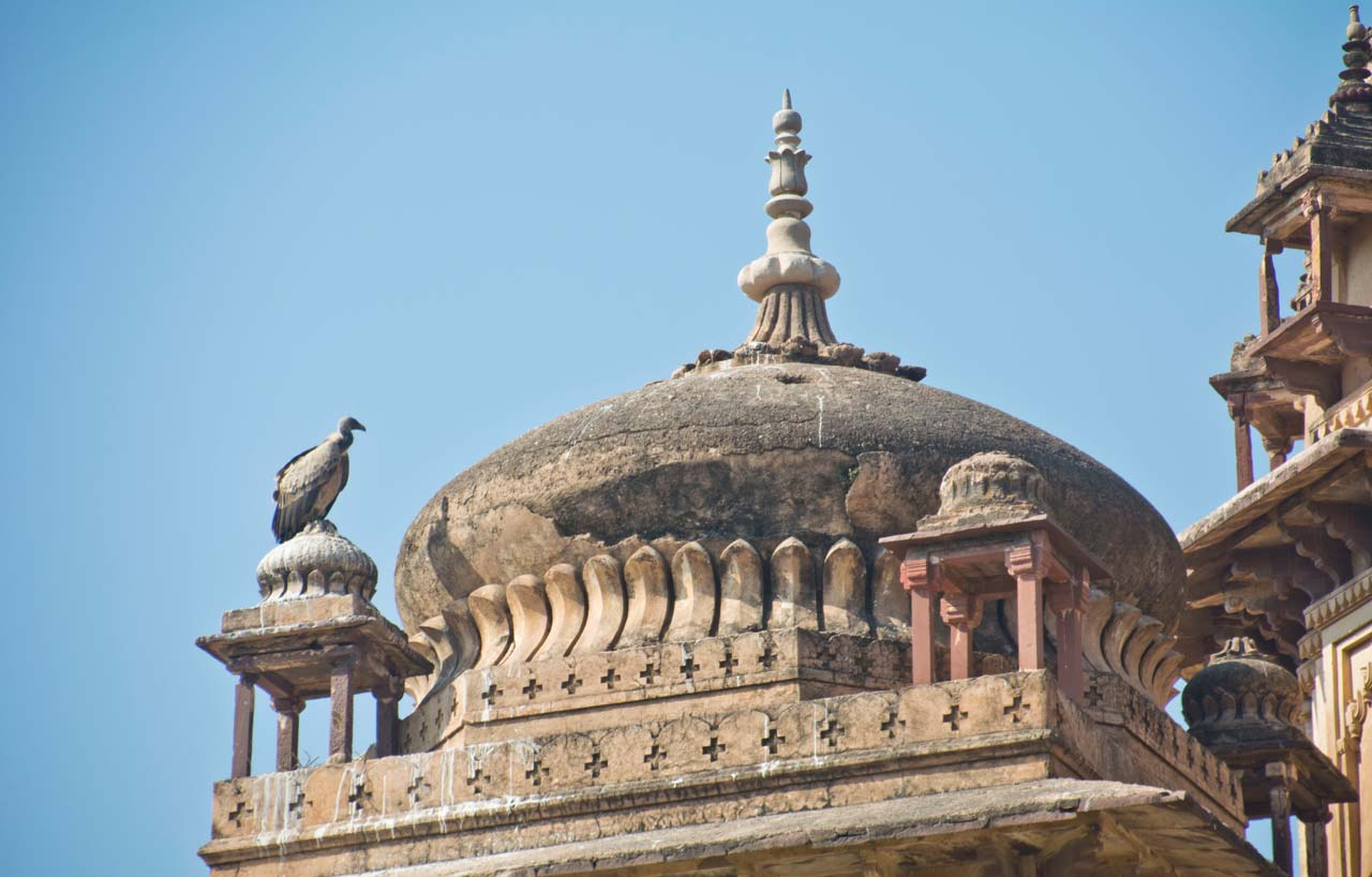 Vulture in Orchha Cenotaphs