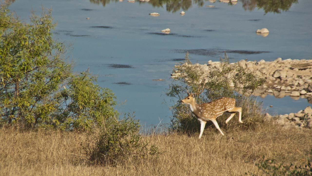 Spotted deer in Panna tiger reserve_1