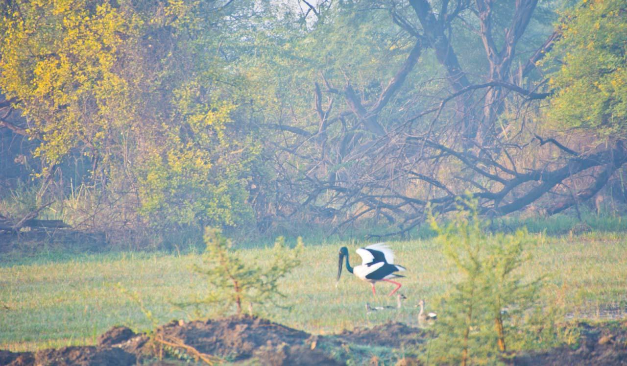 Black neck stork