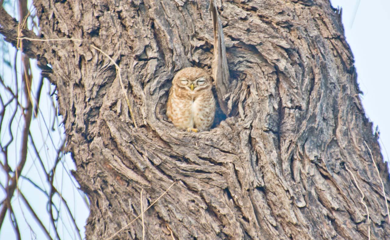Owl in Bharatpur bird sanctuary